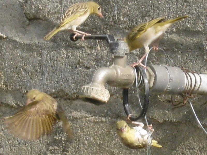 (عدستي الخاصة) الطيور 4Oq22400.jpg