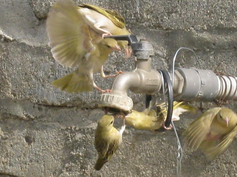 (عدستي الخاصة) الطيور HJL21889.jpg