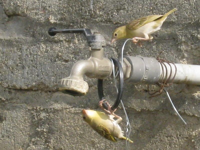 (عدستي الخاصة) الطيور Sxd21889.jpg