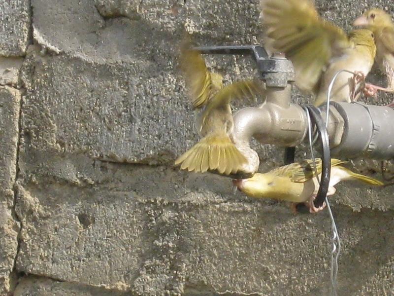 (عدستي الخاصة) الطيور WBh22400.jpg