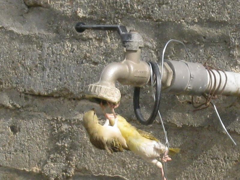 (عدستي الخاصة) الطيور gmo22400.jpg